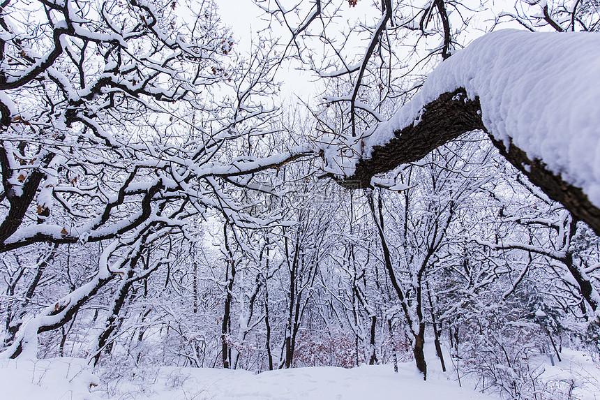 冬天被大雪覆盖的森林图片