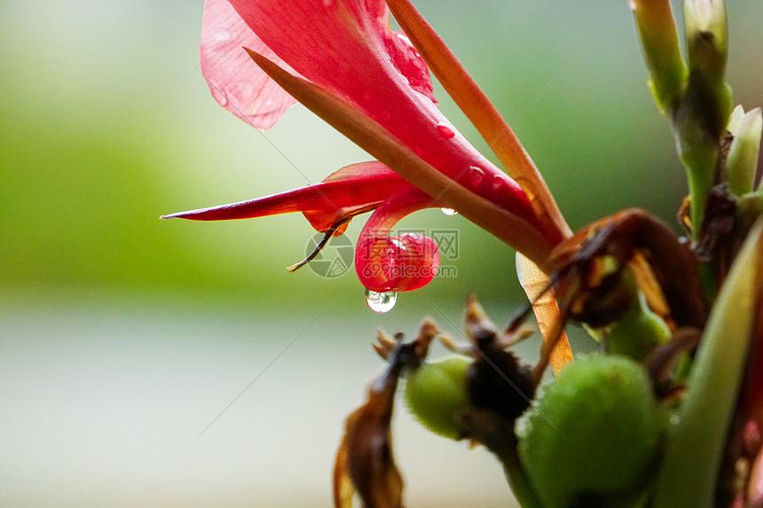 花朵雨露图片