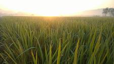 水稻500758781图片