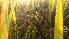 水稻500758794图片