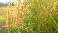 水稻500758805图片