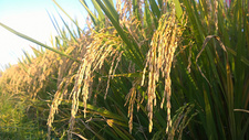 水稻500758809图片