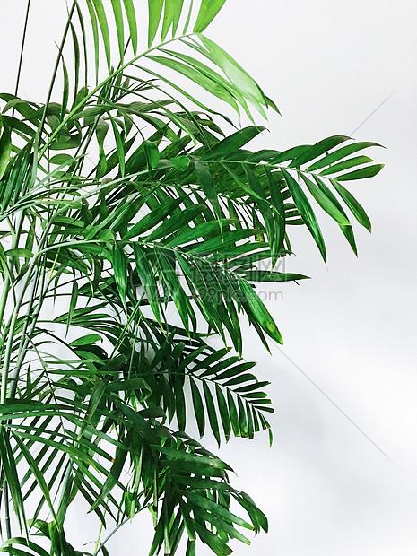 大叶子绿植图片