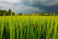 稻田里的蝴蝶图片