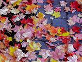 深秋的红叶图片