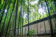 茂密的竹林图片