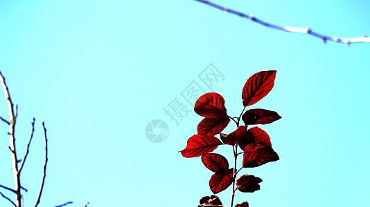 红色的叶子图片