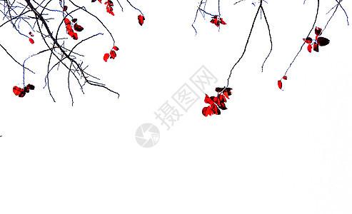秋季红叶背景图片