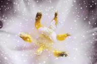 郁金香背景图片