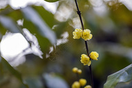 寒冬腊梅花图片