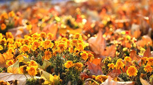 冬天的小黄花图片