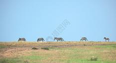 非洲肯尼亚马赛马拉草原上的斑马图片