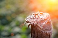 清晨木桩上的霜图片