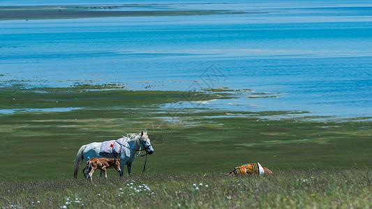 青海湖马匹一家图片