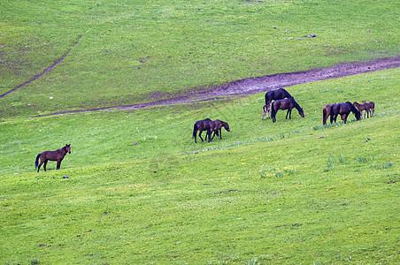 新疆塔城牧场放牧马图片