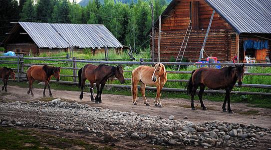 新疆阿勒泰禾木风景区牧马图片