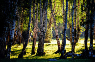 新疆阿勒泰禾木风景区白桦林图片