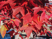 加拿大的枫叶红了图片