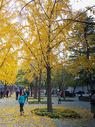 北京秋天的银杏叶黄了图片