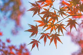 冬季枫叶图片
