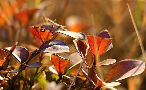 秋天的红色树叶图片