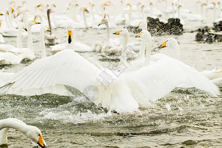 山东威海荣成市烟墩角大天鹅国家自然保护区图片