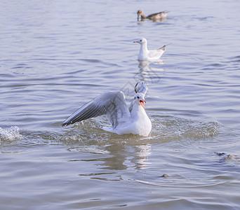 抢不到食物嗷嗷叫的海鸥图片