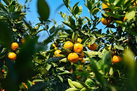 结满果实的桔子树图片