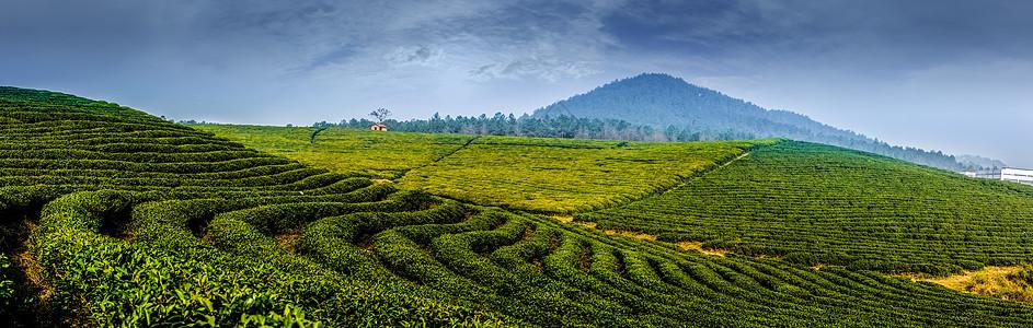绿色的茶园图片
