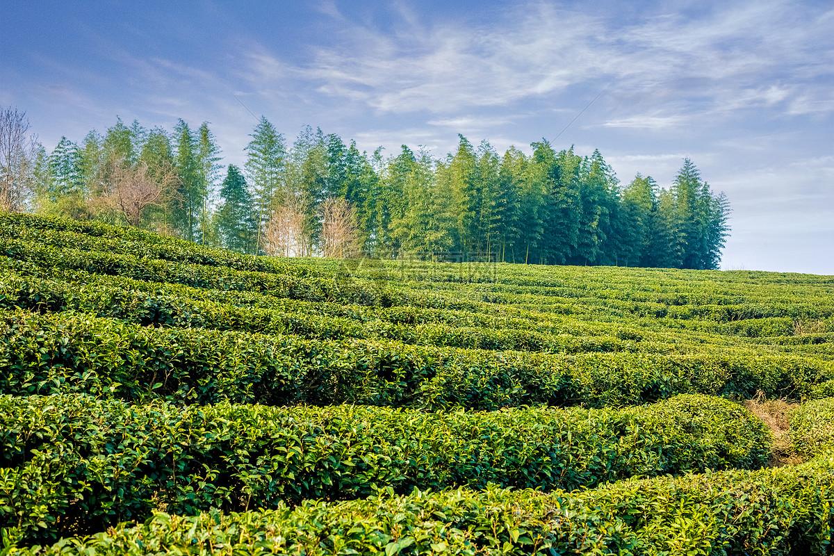 老白茶是什么茶_白茶知识
