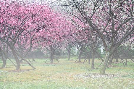 春天晨雾中的梅花林图片