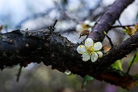 引蜂梅花图片