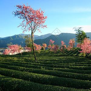 茶园里的樱花树图片