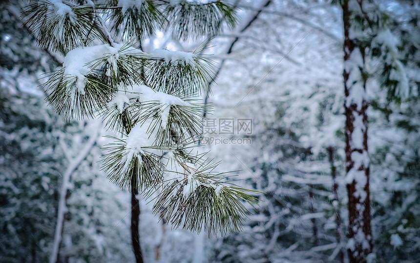 冬季挂满积雪的松枝图片
