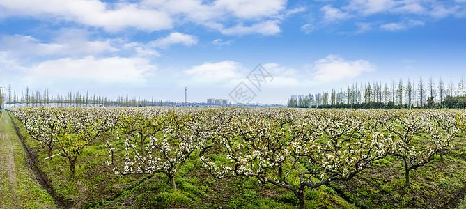 蓝天下的梨园全景风光图片