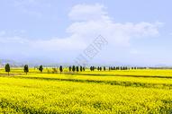 春天乡村油菜花的田野图片