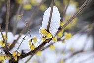 雪后的梅花图片