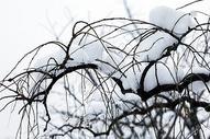 大雪后的树枝图片