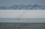 新疆天山下的鸟群图片