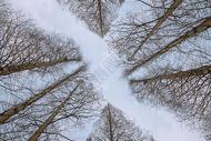 冬季仰望树林和天空图片