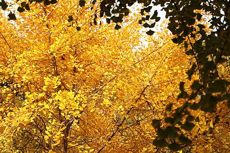 金色银杏图片