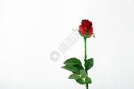 情人节的玫瑰花500790913图片