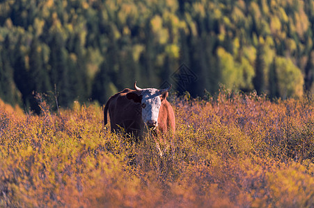 新疆喀纳斯禾木的牛图片