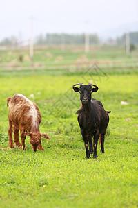 黑山羊图片