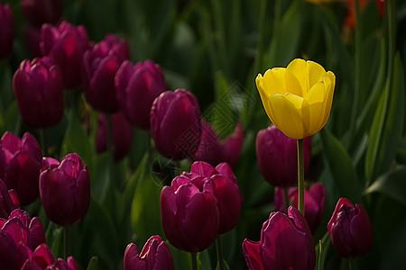 红色丛中的黄色郁金香图片