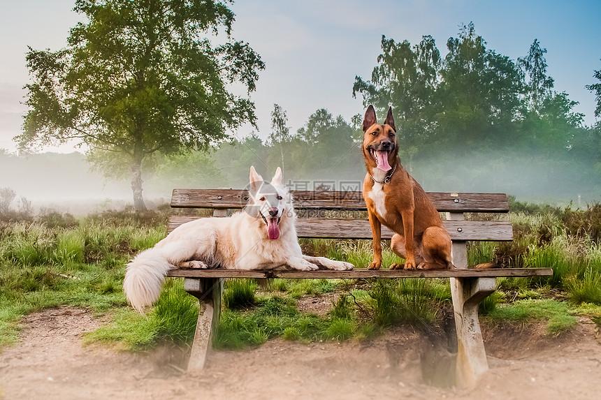长椅上的两只牧羊犬图片
