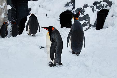 日本北海道旭川动物园企鹅图片