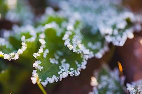 叶子边上的霜图片