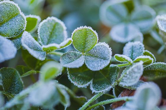 被霜覆盖的三叶草图片
