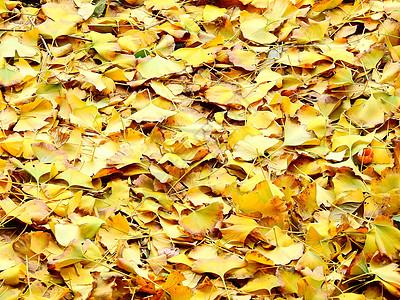 银杏树叶子图片